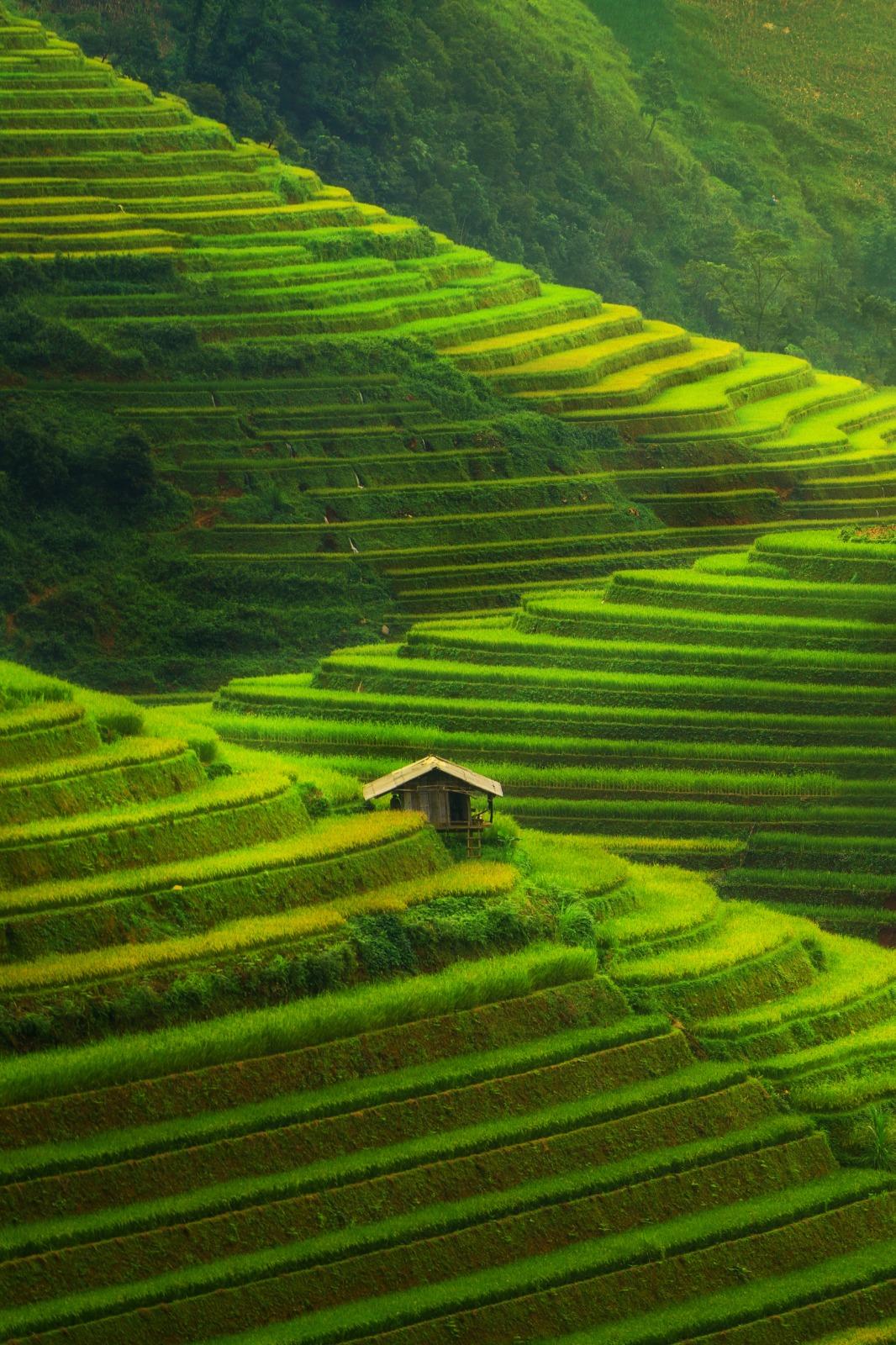 Culture de rizière asiatique, étendue verte.